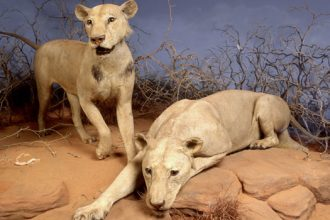Tsavo Lions on exhibit, view of two maneating lions, late 20th century. The pair had attacked both residents and railroad workers near the Tsavo river in Kenya in the late 1890s. (Photo by Field Museum Library/Getty Images)